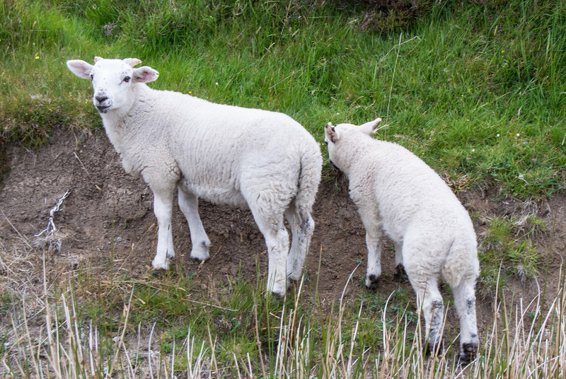 There are 6.8 million sheep in Scotland.  The human population is 5.2 million.