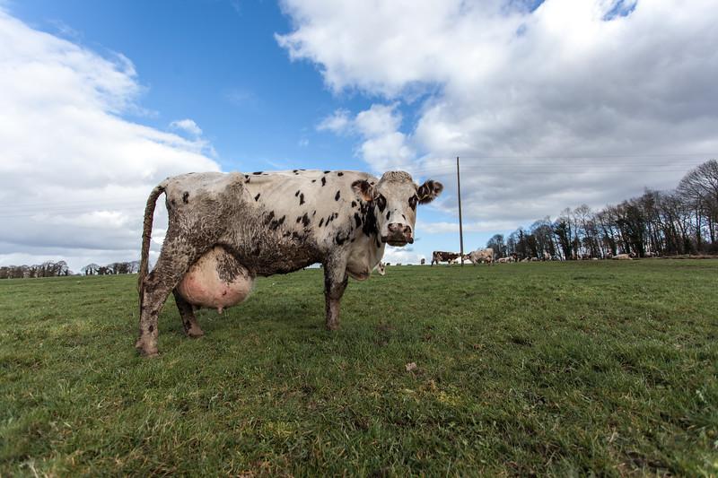 vache (8 sur 21).jpg