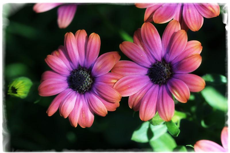 dreamland-daisies.jpg