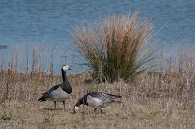 Goose, Barnacle