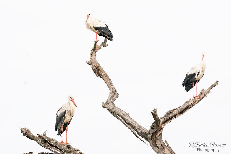 Three Storks in a Tree