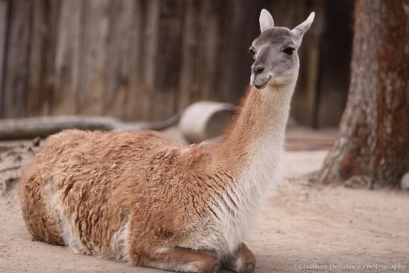 Day 154 - March 1, 2009  Llama, Llama, duck!