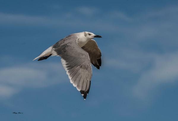 Gull_DWL6216.jpg