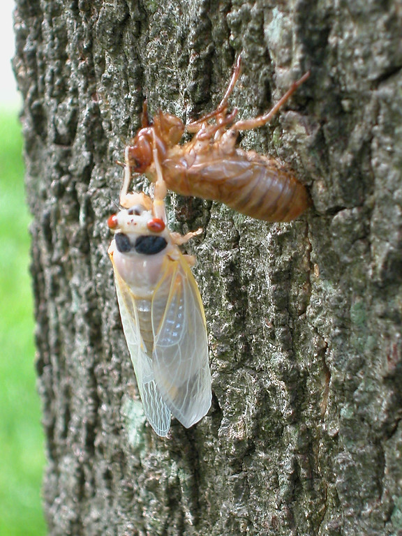 . \\A newly emerged adult cicada sheds its exoskeleton on a tree May 16, 2004 in Reston, Virginia. After 17-years living below ground, billions of cicadas belonging to Brood X begin to emerge across much of the eastern United States. The cicadas shed their larval skin, spread their wings, and fly out to mate making a tremendous noise in the process.  (Photo by Richard Ellis/Getty Images)