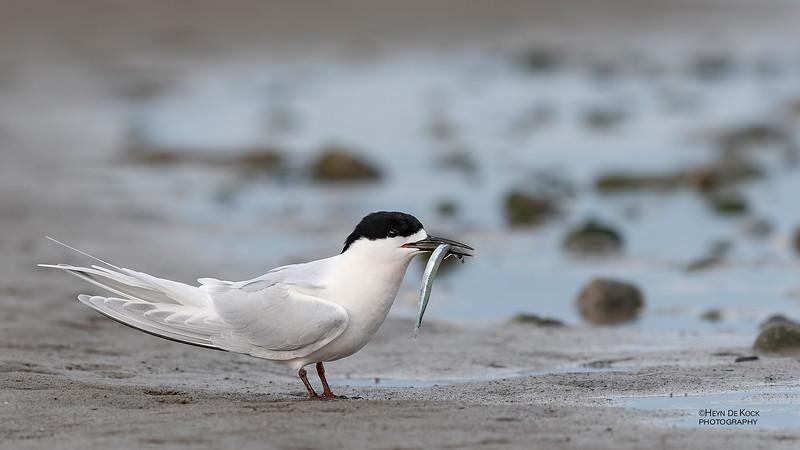 White-fronted Tern, Christchurch, SI, NZ, Sep 2018-7.jpg