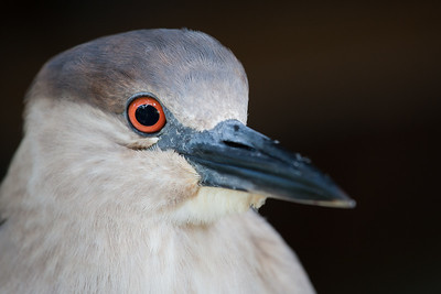 Herons, Bitterns (Ardeidae)