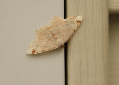 Misc Moths
