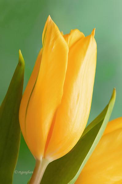 April 19_Yellow Tulip_1825.jpg