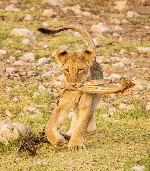 Playful cub 1
