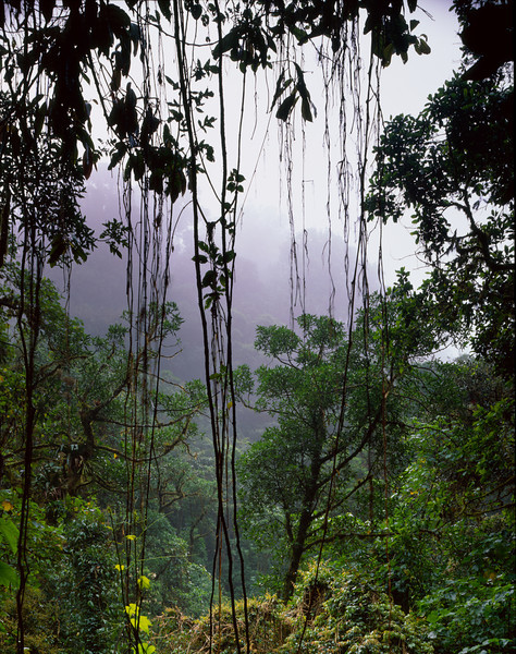 El Triunfo Biosphere Reserve, Chiapas, MEX / Silhouetted vines frame the foggy lush old growth forest. 408V2