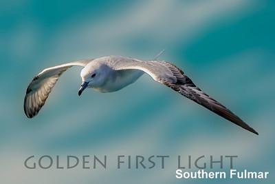 Southern Fulmar, Antarctica