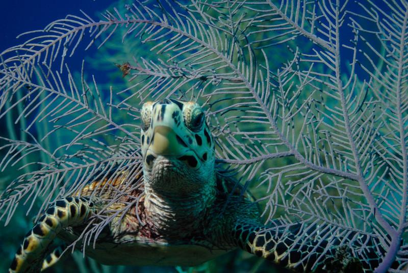 Juvenile Hawksbill Turtle, Little Cayman