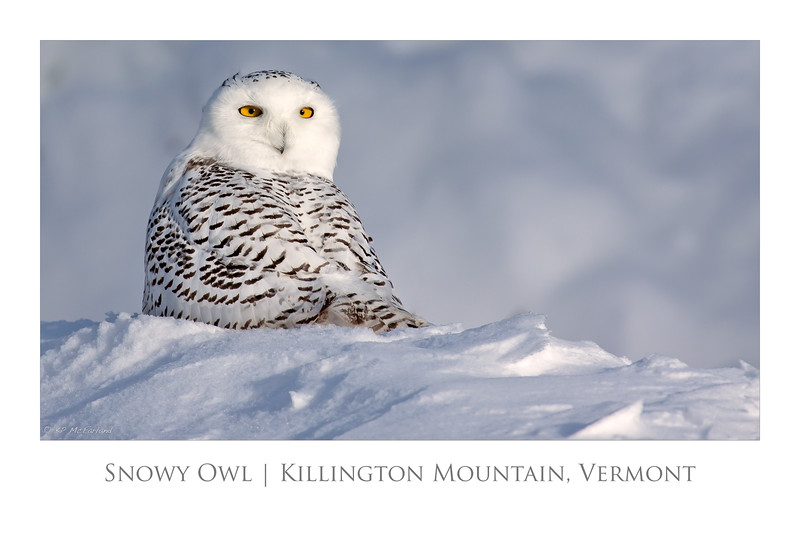 Snowy Owl poster 30x20.jpg