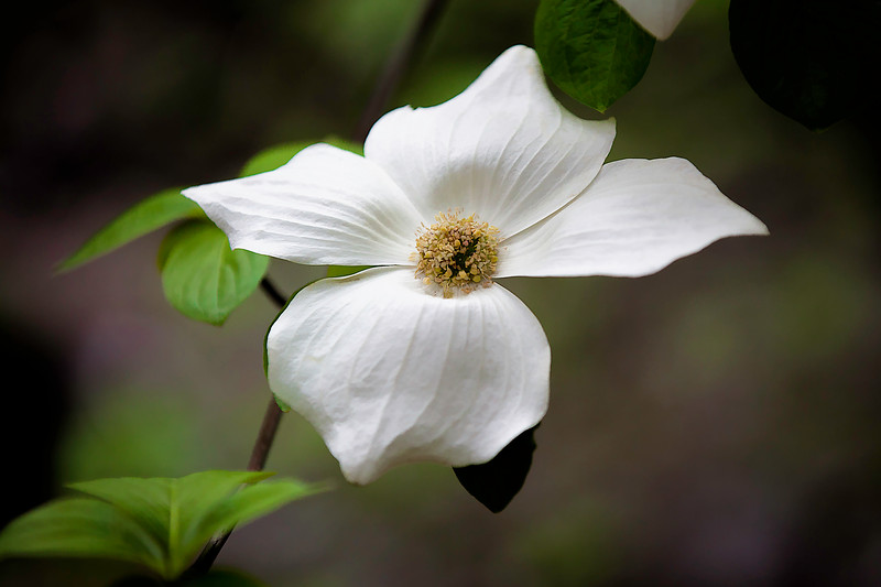 Single Dogwood flower copy.jpg