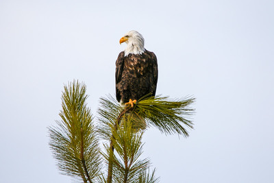Bald Eagles at Coeur d'Alene'17