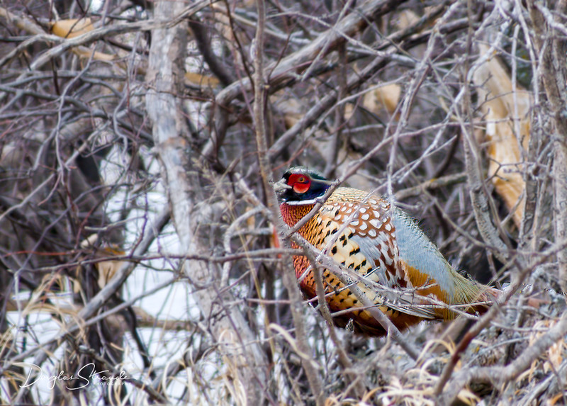 Ring-Necked Pheasant (male)
