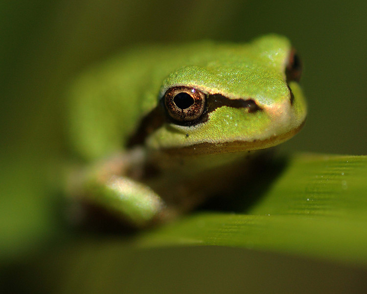 Some more baby tree frogs sitting on blades of grass there about the size of your little fingers finger nail.