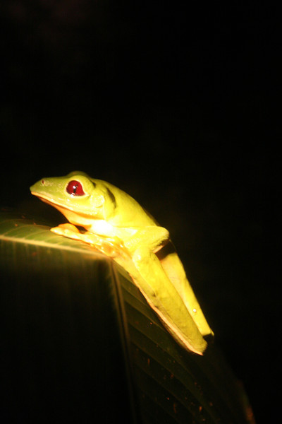 Night tour of the frog pond in Monteverde.