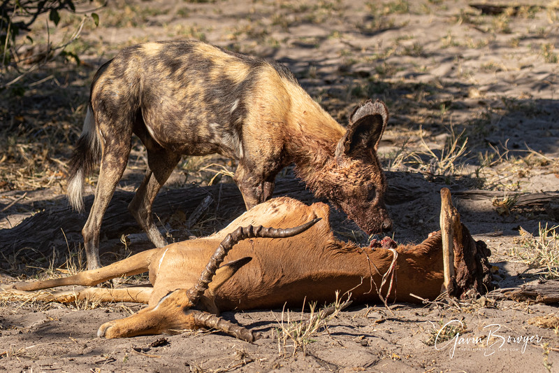 Wild Dogs Botswana.jpg