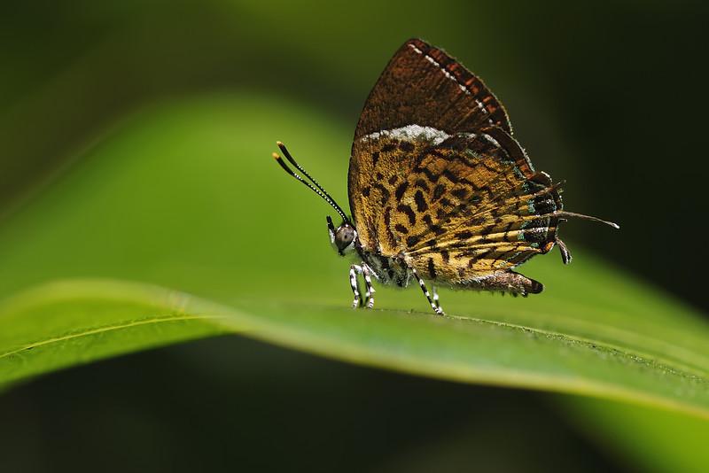 Monkey-Puzzle-Butterfly.jpg
