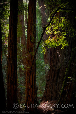 Muir Woods (Marin County, California)