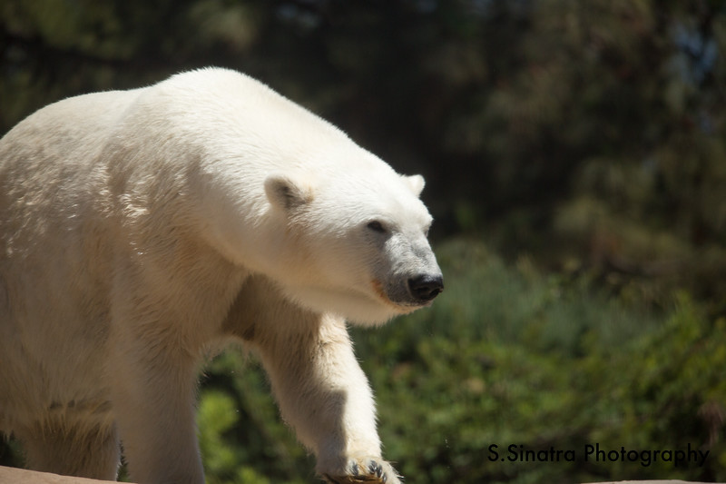 polar bear (43 of 50).jpg