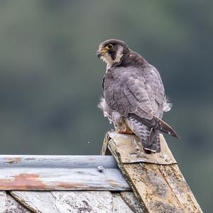 Vandrefalk  -  Peregrine falcon