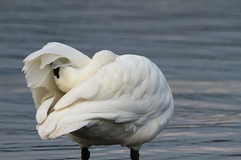 swan preening.jpg
