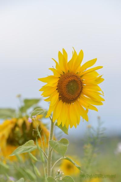 Sunflower Lonay_20092020 (50).JPG