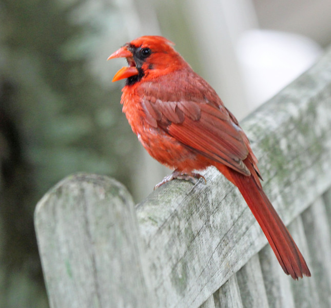 Irritated cardinal