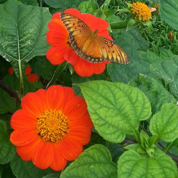 Latin_America_makes_another_appearance_on_Maui._These_fiesta_del_sol_flowers_are_Mexico_s_sunflowers_and_attract_butterflies._Can_you_believe_this_is_without_a_filter (1).jpg