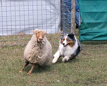 Florida Sheep Shifters - Australian Shepherds