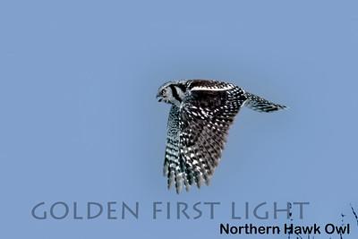 Northern Hawk Owl, Batsfjord Vardo Road, Norway
