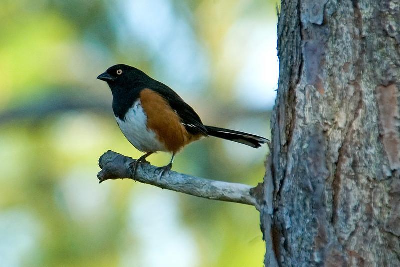 Towhee - Eastern - male - St. George Island State Park - FL - 02