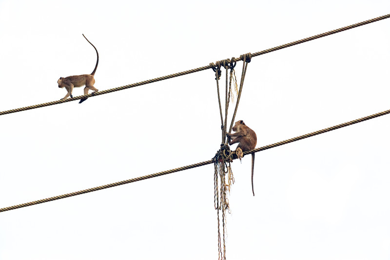 Macaques on rope bridge