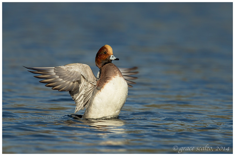 Eurasian Widgeon Flapping, Long Island, NY
