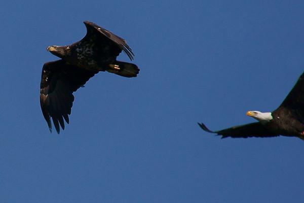 Baytown Eagles - Chasing the Juvenile Away  030610