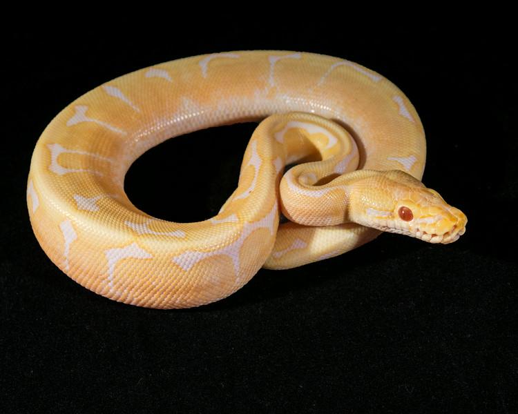 Albino Spider M0514, Head wobble, half price, sold Matt C.
