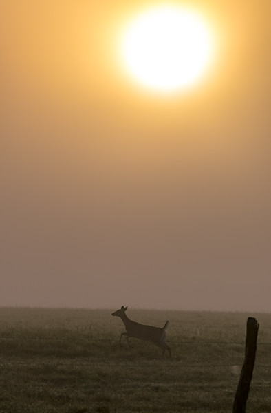 White-tailed Doe Silhouette
