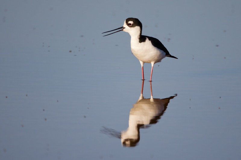 Black-necked Stilt - Alviso, CA, USA