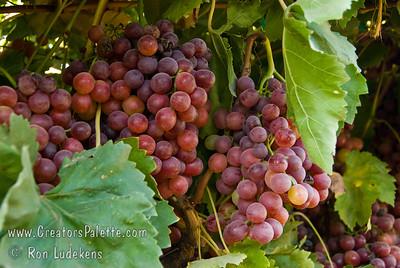 Flame Seedless Grapes - Vitis vinifera