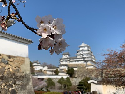 Цветение сакуры.  Весна 2019 год