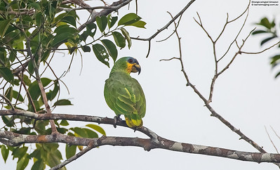 Parrots New World Psittacidae