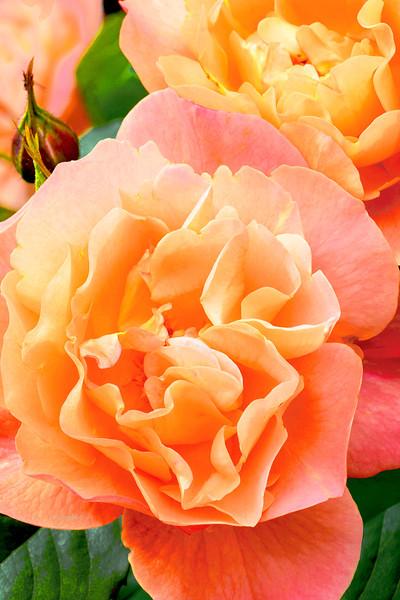 Westerland Rose Cluster