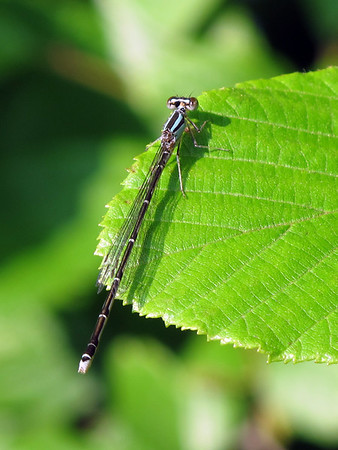 Orange Bluet (Enallagma signatum)