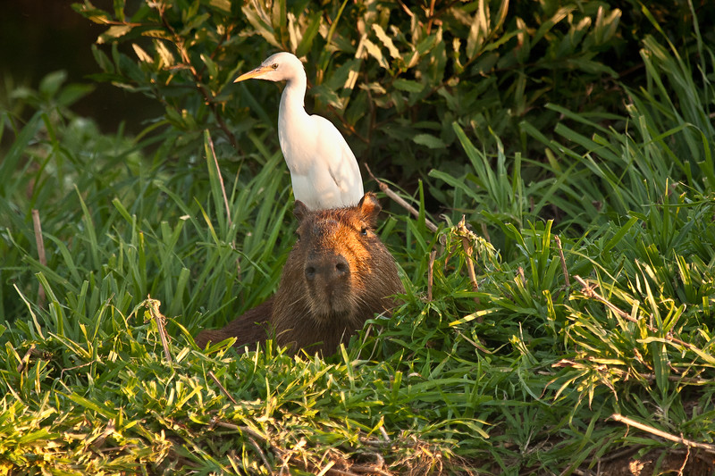 CAPYBARA WITH EGRET ON HEAD.jpg