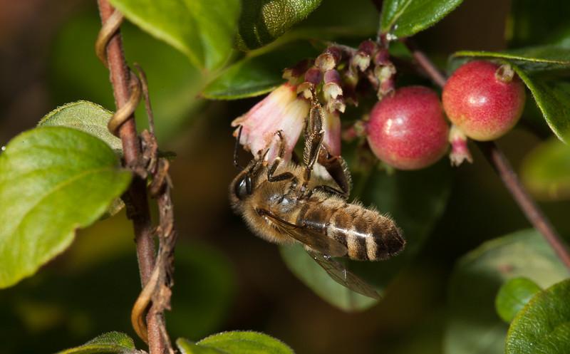 Solitary bee on snowberry (symphoricarpos chenaultii Hancock) flower.