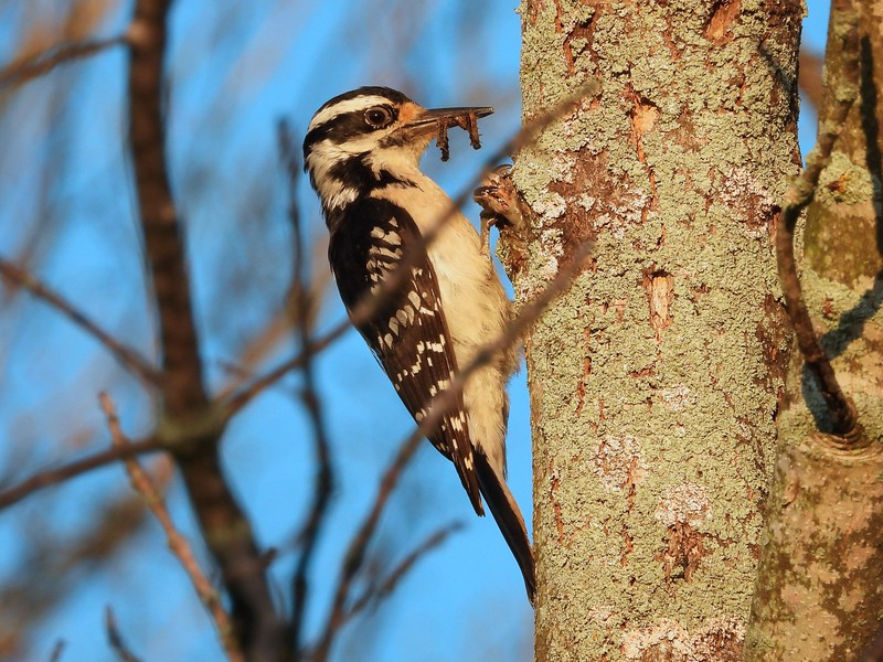 Hairy Woodpecker - adult female carrying food CF  (Photo by Don McLeod)