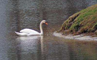 03 Swan Visit