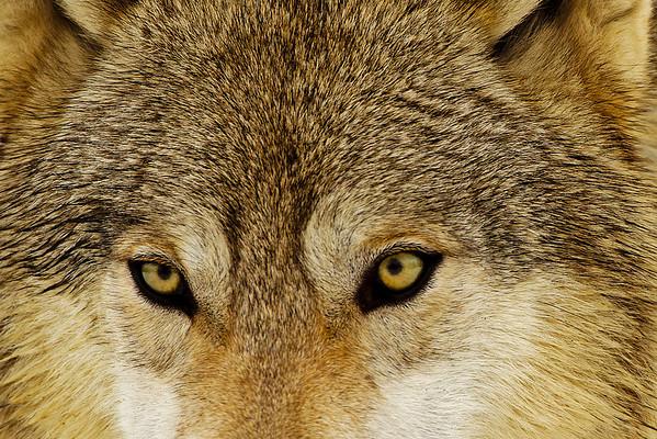 Minnesota Wolf, Cougar, carnivore shoot. February 2011